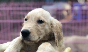 Tùng Lộc Pet – Cập nhật hình ảnh đàn chó Golden Retriever tháng 06/2018 nhé