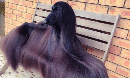 Tùng Lộc Pet – Hoa hậu chó sở hữu bộ lông suôn dài, bóng mượt khiến phái đẹp cũng phải ghen tị