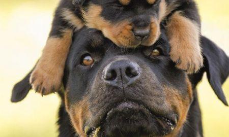 Tùng Lộc Pet – Cách huấn luyện chó Rottweiler ( Phần 1)