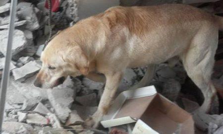 Tùng Lộc Pet – Cảm động câu chuyện chú chó cứu hộ qua đời vì kiệt sức sau khi cứu được 7 người trong động đất