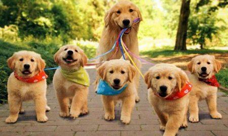 Tùng Lộc Pet – Chú chó Golden mẹ mẫu mực nhất năm