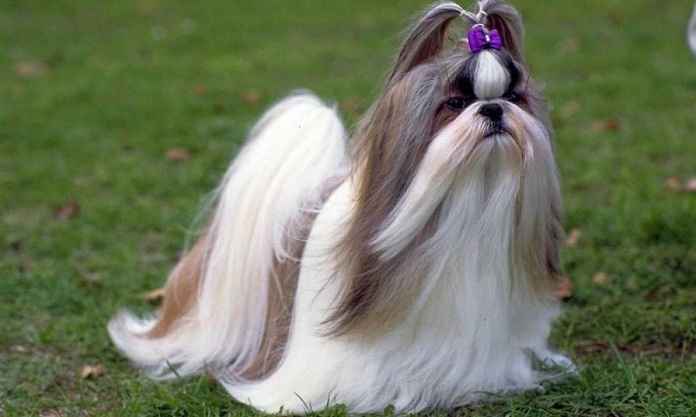 Tùng Lộc Pet – Shih Tzu, giống chó mà ta hay gọi là chó Nhật