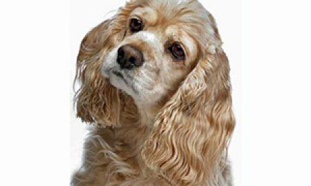 Tùng Lộc Pet – Chó Tây Ban Nha (Cocker Spaniel)