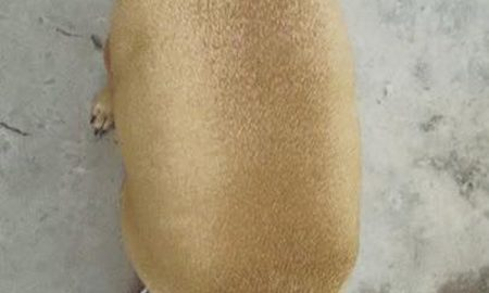 Tùng Lộc Pet – Chú chó béo rụt cả cổ