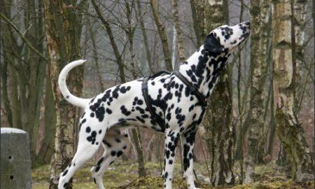 Một số thắc mắc thường gặp về chó Đốm – Dalmatian (Phần 2)