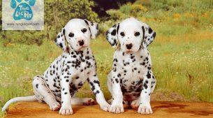 Đốm – Dalmatian