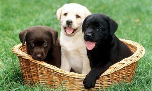 Tùng Lộc Pet – Chó Labrador giá bao nhiêu tiền?