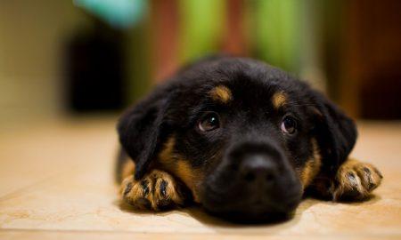 Tùng Lộc Pet – Cách chọn lựa và chăm sóc Rottweiler con