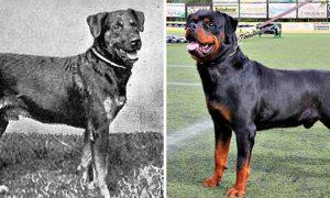 Tùng Lộc Pet – Các giống chó đã thay đổi thế nào trong 100 năm qua?