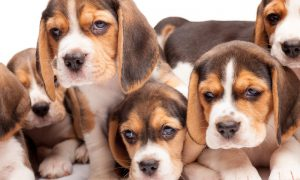 Chào bán đàn chó săn thỏ Beagle tháng 3/2018