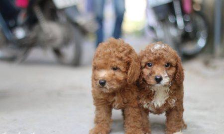 Tùng Lộc Pet – Chào bán đàn Toy Poodle 2 tháng tuổi